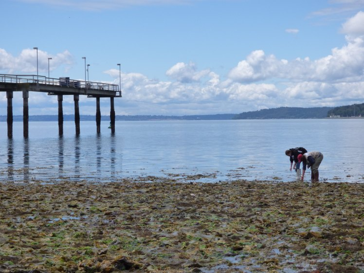 Two people wade into Puget Sound at low tide two look for sea life.